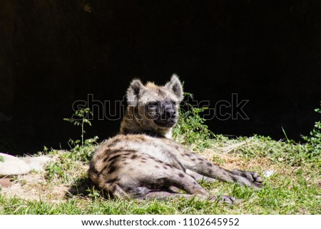 Picture of hyena