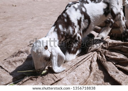 Picture of kid goat is eating grass.