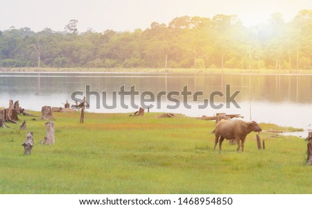 Picture of Landland scape the way of eating grass of buffalo.