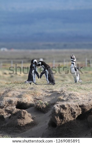 picture of 2 magellanic penguins