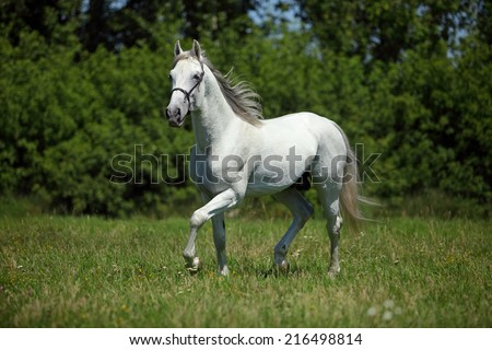 Picture of majestic white horse
