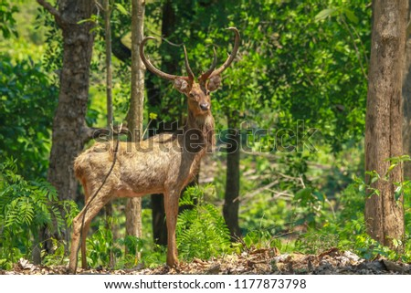 picture of male of Eld's deer, Thamin, Brow-antlered deer (Panolia eldii). This is endangered spicies in Thailand.
