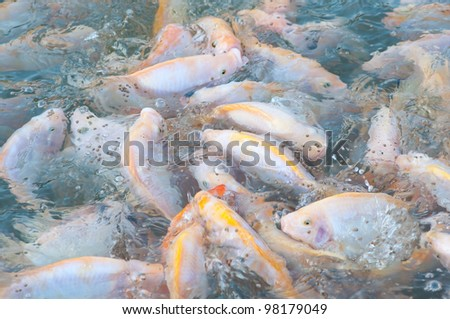 picture of many nile tilapia in a farm