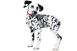 Picture of my dalmatian