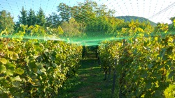 Picture of net protection for wine grapes at autumn harvest time. Farmers protected the grape harvest with a green plastic net