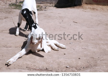 Picture of one goat is sitting and one goat is standing.