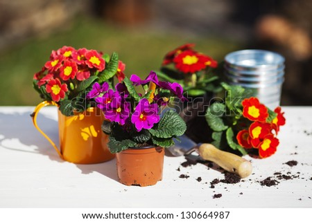 picture of primroses which are planted in flower pots