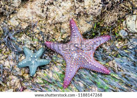 Picture of purple and blue starfish on a beach in Tanzania, Africa.
