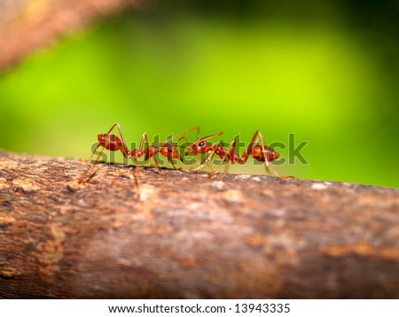 picture of Red ant