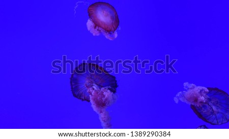 Picture of several jellyfish under water
