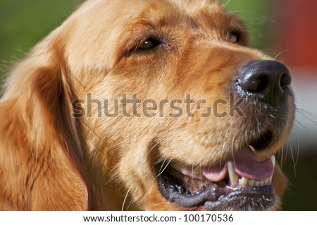 Picture of sitting Golden Retriever, horizontal shot.