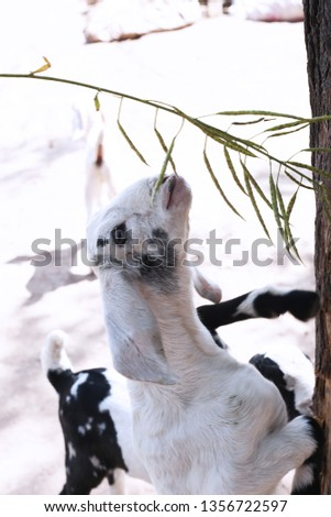 Picture of small goat is eating grass.