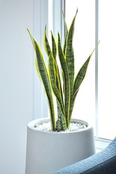 Picture of Snake Plant, a tree that adorns the house Can be planted inside dwellings With the feature of purifying the air Even at night Can be placed in the living room or bedroom