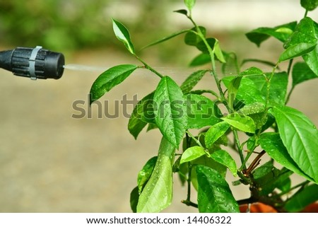 Picture of spray and spraying leafs of small tree