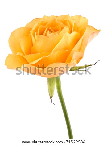 Picture of tea rose on white background.