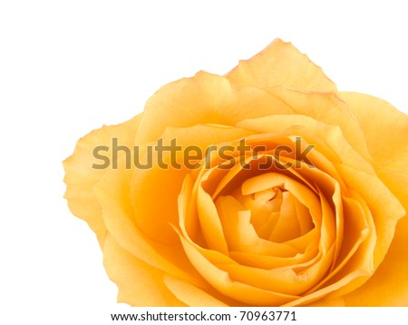 Picture of tea rose on white background with space for your text
