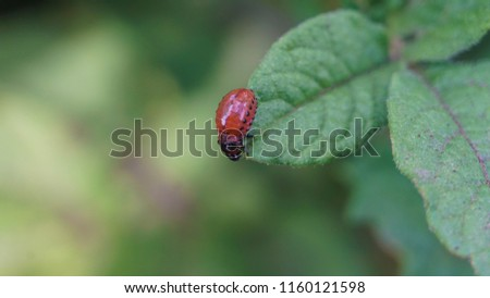 Picture of the larva of the Colorado potato beetle. Picture of a potato beetle on a potato leaf