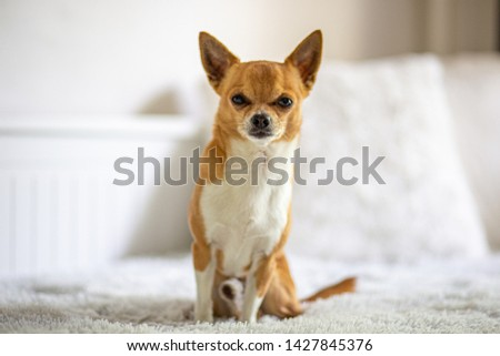 Picture of the little chihuahua #1427845376
