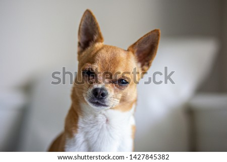 Picture of the little chihuahua #1427845382