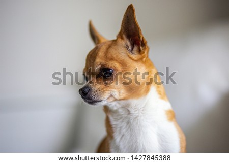 Picture of the little chihuahua
