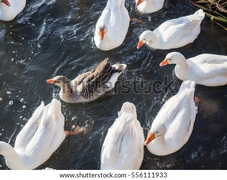 Picture of the white and gray geese swimming on the water surface. Wild geese gaggle top view. Geese swimming in the pond.