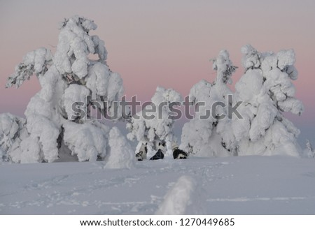 Picture of three alaskan huskies looking at something in between trees covered in snow and frost. There are tracks from them walking around in the foreground, and the sky is a gradient of arctic light