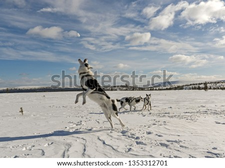 Picture of three alaskan huskies on a bright winter day. Two of them are playing in the background, and the third is jumping to catch a piece of snow.