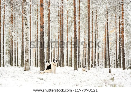 Picture of three alaskan huskies sitting in a snow-covered forest. Tall pine trees are standing around them, covered in frost and snow