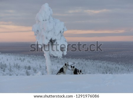 Picture of three alaskan huskies, sitting under a lone tree covered in frozen snow. Behind them a road runs through a boreal landscape covered with snow and frost.