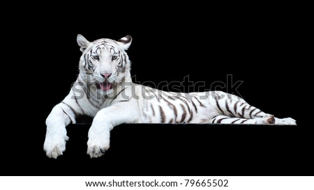 picture of Tiger  albino of high-res with an artistic background #79665502
