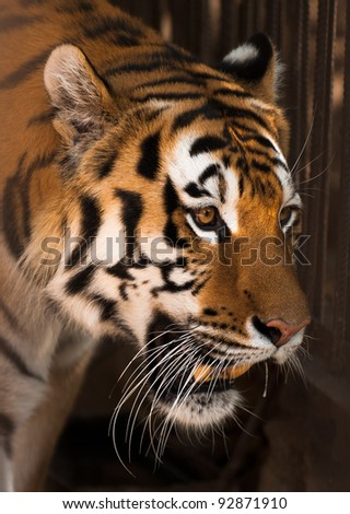 picture of Tiger  of high-res with an artistic background - stock photo
