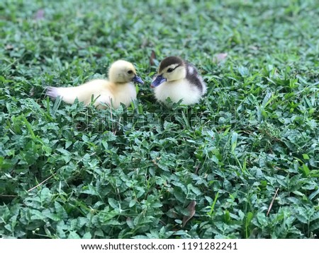 Picture of two cute ducklings!
