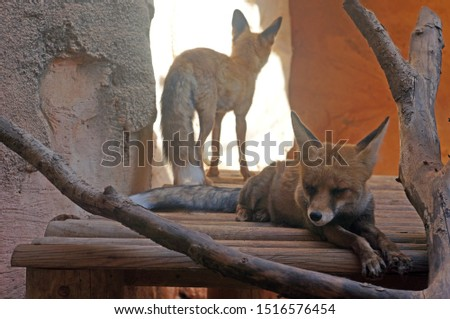 Picture of two foxes, one lying down enjoying napping and the other standing in the background