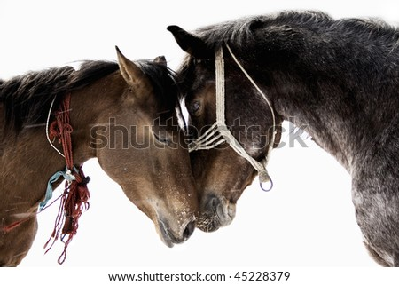 picture of two horses in love taken in winter