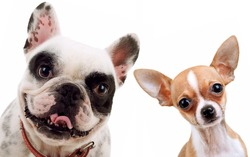 picture of two little dogs - chihuahua and french bull dog looking at the camera