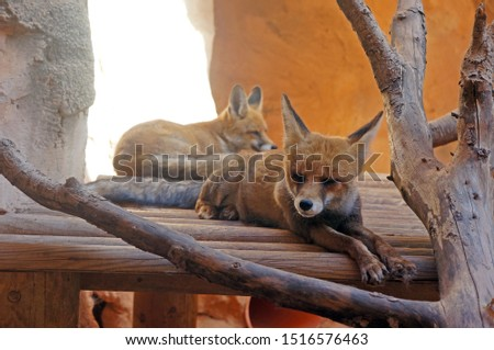 Picture of two lying foxes enjoying napping