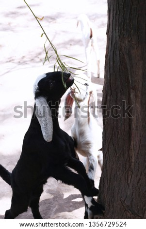 Picture of two small goat is eating grass.
