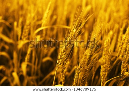 Picture of wheat fields for baisakhi festival in punjabi culture.