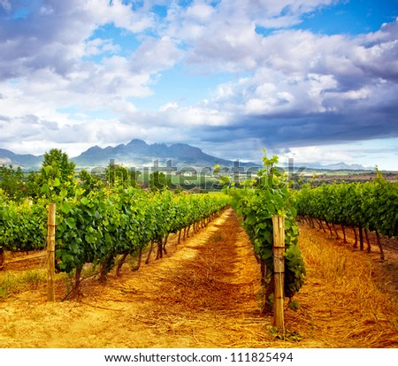 Picture of winery garden, blue sky, beautiful agricultural landscape, harvest season, grapes valley, field of fresh ripe fruit, vineyard industry, rural scenic nature, plantation viticulture