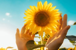 Picture of yellow sunflower with blue sky background. Female hands touching flower. Amazing beautiful picture. Sun shines bright. Sunny day. Harvest time