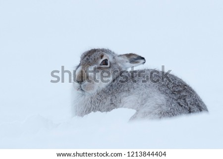 Picture show a wild mountain hare sitting on snow in the Scottish highlands national park,  the Cairngorms.  These hares (rabbits) are native to the British Isle and leave on higher ground #1213844404