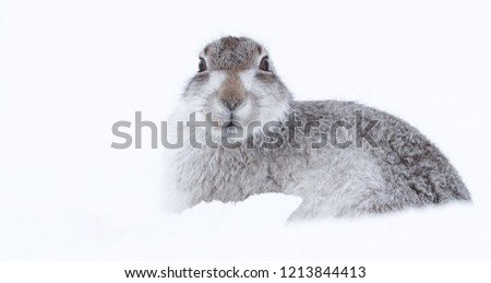Picture show a wild mountain hare sitting on snow in the Scottish highlands national park,  the Cairngorms.  These hares (rabbits) are native to the British Isle and leave on higher ground #1213844413