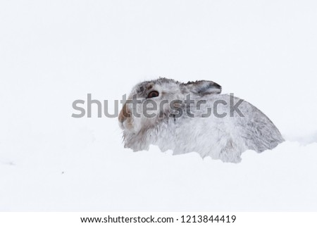 Picture show a wild mountain hare sitting on snow in the Scottish highlands national park,  the Cairngorms.  These hares (rabbits) are native to the British Isle and leave on higher ground #1213844419