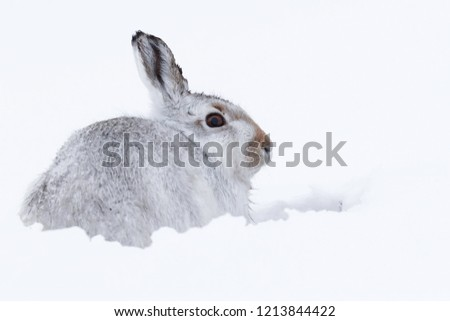 Picture show a wild mountain hare sitting on snow in the Scottish highlands national park,  the Cairngorms.  These hares (rabbits) are native to the British Isle and leave on higher ground #1213844422