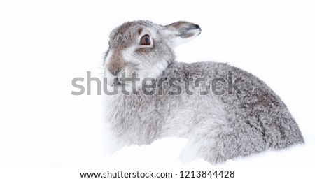 Picture show a wild mountain hare sitting on snow in the Scottish highlands national park,  the Cairngorms.  These hares (rabbits) are native to the British Isle and leave on higher ground #1213844428
