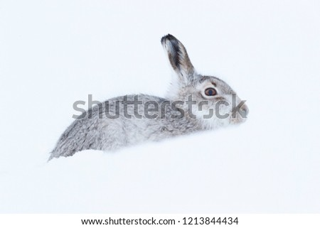 Picture show a wild mountain hare sitting on snow in the Scottish highlands national park,  the Cairngorms.  These hares (rabbits) are native to the British Isle and leave on higher ground #1213844434