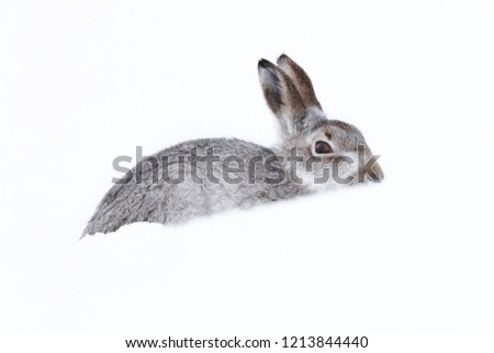 Picture show a wild mountain hare sitting on snow in the Scottish highlands national park,  the Cairngorms.  These hares (rabbits) are native to the British Isle and leave on higher ground #1213844440