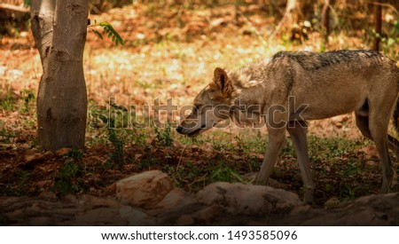 Picture showcasing a wolf walking in search of some food or aware of something.