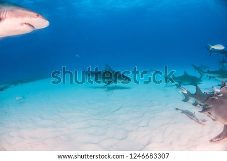 Picture shows a Bull shark caribbean reef sharks at the Bahamas