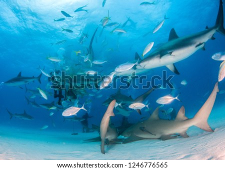Picture shows a Lemon shark and Caribbean reef sharks at the Bahamas